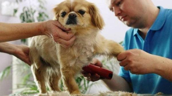 612832 cachorro salao Cuidados ao tosar pelo de cachorro