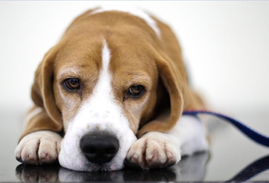 615906 Remédios caseiros para cães Remédios caseiros para cães