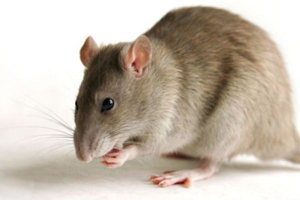 617546 O rato serve de reservatório para o hantavirus. Hantavirose: sintomas, tratamento