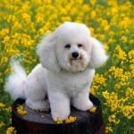 618732 Poodle como cuidar dicas fotos 4 150x150 Poodle: como cuidar, dicas, fotos