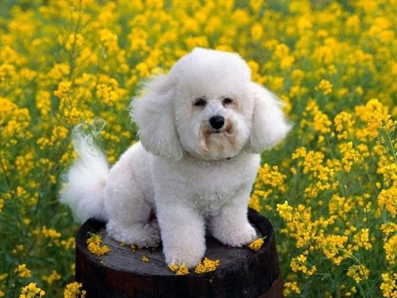 618732 Poodle como cuidar dicas fotos 4 Poodle: como cuidar, dicas, fotos