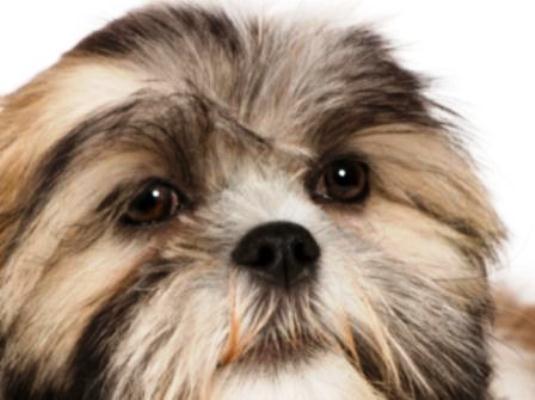 Úlcera no olho em cachorros: sintomas, como tratar