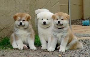 Cão raça Akita: quanto custa, preços 3