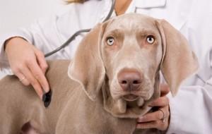 Diabetes em cães: sintomas 2