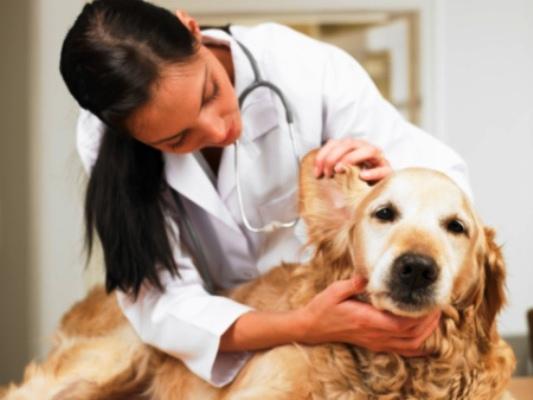 661241 Leve o seu cãozinho ao veterinário para tratar a anemia. Foto divulgação Como curar cães com anemia