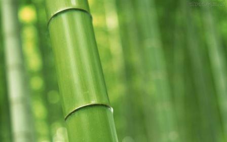 661766 O bambu tem diversas utilidades em nosso meio. Foto divulgação Benefícios do broto de bambu
