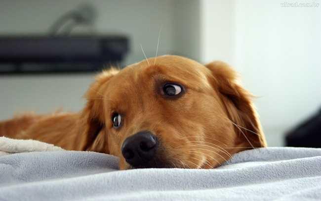 664009 Como saber se o cachorro está com febre 1 Como saber se o cachorro está com febre