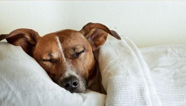 664009 Como saber se o cachorro está com febre 3 Como saber se o cachorro está com febre