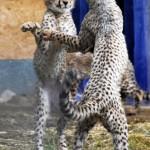 666308 animais fazendo pose de humanos fotos 15 150x150 Animais fazendo pose de humanos: fotos