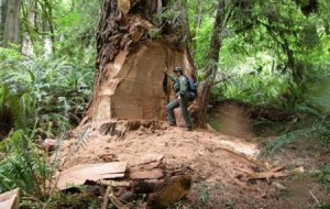 Ladrões roubam árvores nos EUA