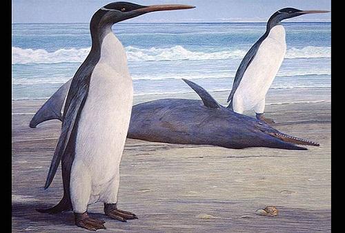 Conheça os pinguins do tamanho de um homem