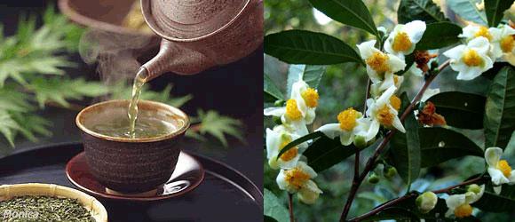 856 Chá Verde conheça os benefícios 3 Chá Verde, conheça os benefícios