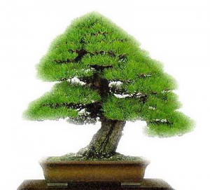 Bonsai 1 300x271 Tipos de Bonsai, Fotos
