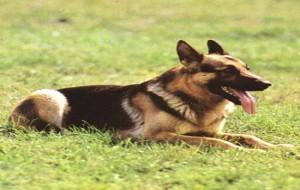 Cebola e Alho Podem Envenenar Cachorros