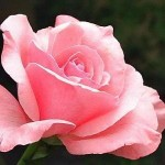 Fotos de Rosas2 150x150 Fotos de Rosas
