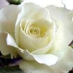 Fotos de Rosas3 150x150 Fotos de Rosas