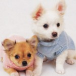Raças de cachorros pequenos 3 150x150 Raças de Cachorros Pequenos   Fotos