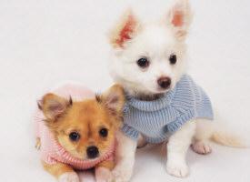 Raças de cachorros pequenos 3 Raças de Cachorros Pequenos   Fotos