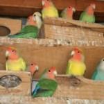 como tirar licenca criar pássaros01 300x1991 150x150 Como Tirar Licença Para Criar Pássaros