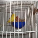 como tirar licenca criar pássaros03 150x150 Como Tirar Licença Para Criar Pássaros