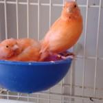 como tirar licenca criar pássaros06 150x150 Como Tirar Licença Para Criar Pássaros