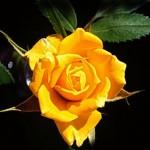 foto rosa amarela 011 150x150 Fotos de Rosas