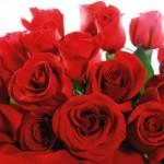 foto rosa vermelha1 150x150 Fotos de Rosas