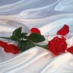 fotos de rosas5 150x150 Fotos de Rosas