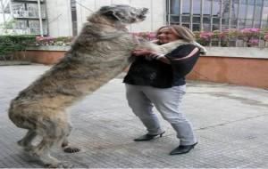 Fotos do Maior Cachorro do Mundo: wolfhound irlandês