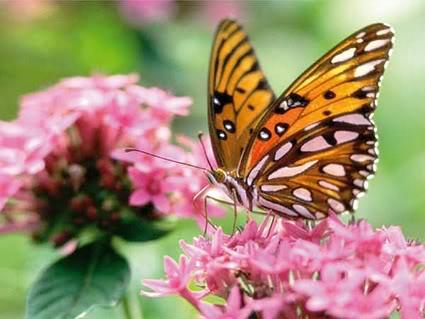 borboleta Tatuagem de borboleta   Fotos de tatoo