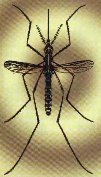 mosquito Febre Amarela   Sintomas e tratamento