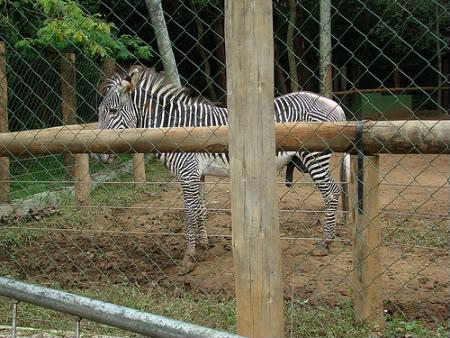 zebra Zoológico de São Paulo   Fotos dos Animais