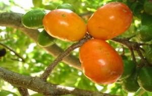 Siriguela –Fruta Notável