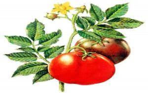 Tomate e Azeite: Por Que Faz Bem?