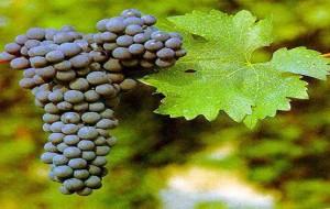 Inverno: Hidrate os Cabelos com Uva