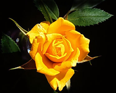 foto rosa amarela 01 Fotos de Rosas