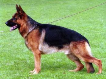 fotos pastor alemao Fotos de Cães de Guarda