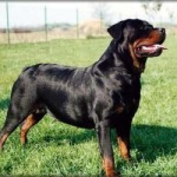 fotos rottweiler Fotos de Cães de Guarda
