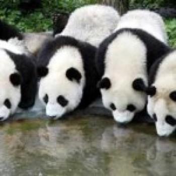 Fotos de Ursos Pandas Fotos de Ursos Pandas