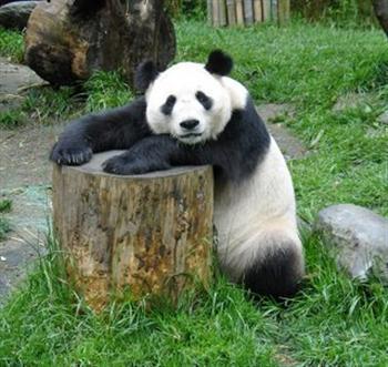 Fotos de Ursos Pandas1 Fotos de Ursos Pandas