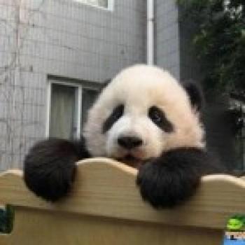 Fotos de Ursos Pandas2 Fotos de Ursos Pandas