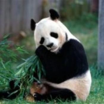 Fotos de Ursos Pandas3 Fotos de Ursos Pandas