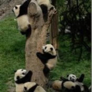 Fotos de Ursos Pandas4 Fotos de Ursos Pandas