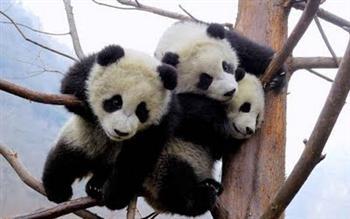 Fotos de Ursos Pandas5 Fotos de Ursos Pandas