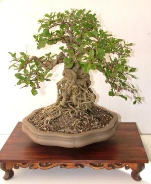 Dicas de como cuidar do bonsai - Como cuidar bonsais ...