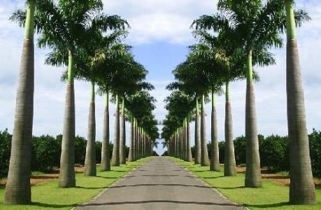 palmeira imperial preço Palmeira Imperial Preço