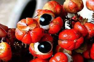 fruto guaraná Benefícios do pó de guaraná
