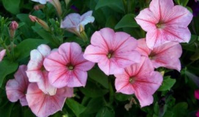 petunia dr 300×200 Flores de Inverno Para Decoração