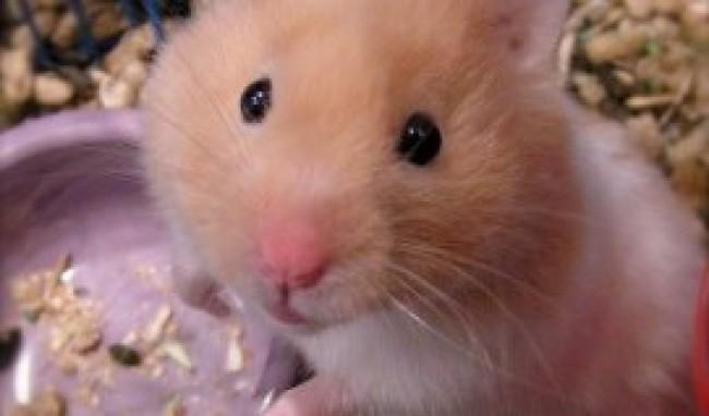 hamster Melhores Animais de Estimação para Apartamento