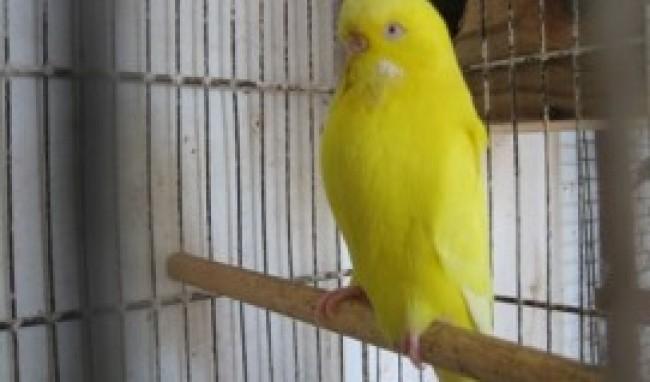 pássaro Melhores Animais de Estimação para Apartamento